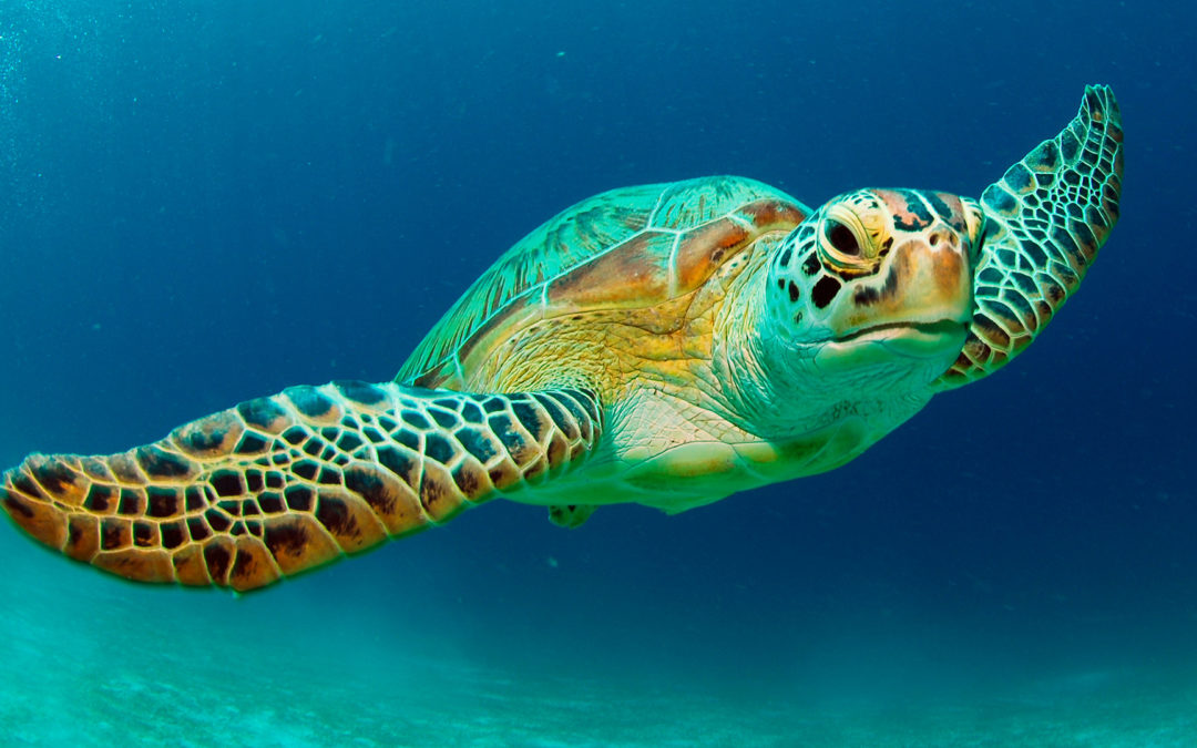 Cyprus's endangered green sea turtles #WorldTurtleDay